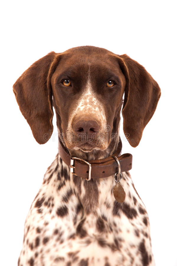 Free German Shorthair Pointer Royalty Free Stock Photography - 30210817