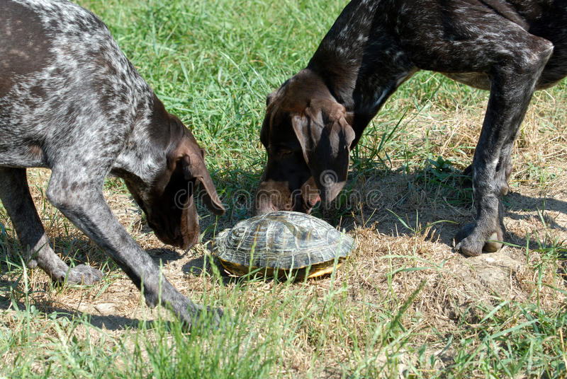 German shorthair pointer. Two German short-haired pointer playing with a turtle stock image