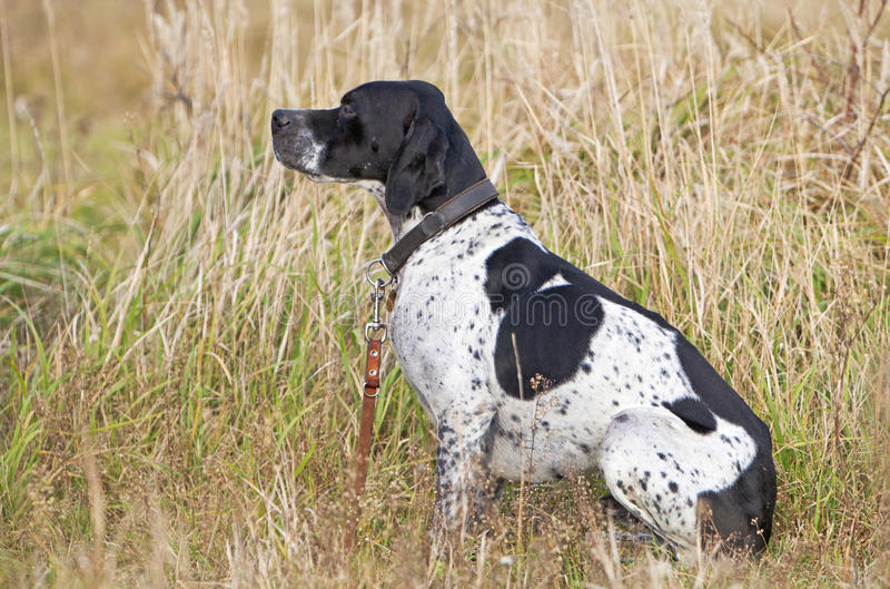 German Shorthaired Pointer. On standing stock photos