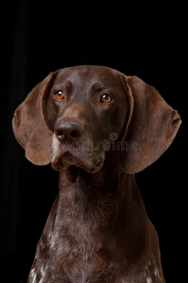 Download German Shorthaired Pointer stock photo. Image of pointer - 19747788