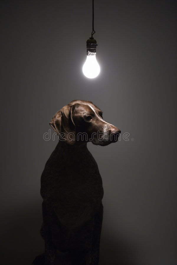 German Shorthaired Pointer. stock photography