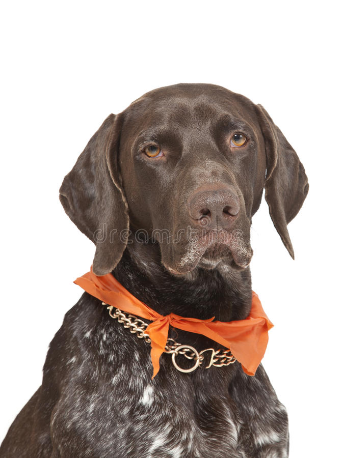 Download German shorthaired pointer stock photo. Image of pedigree - 24124234
