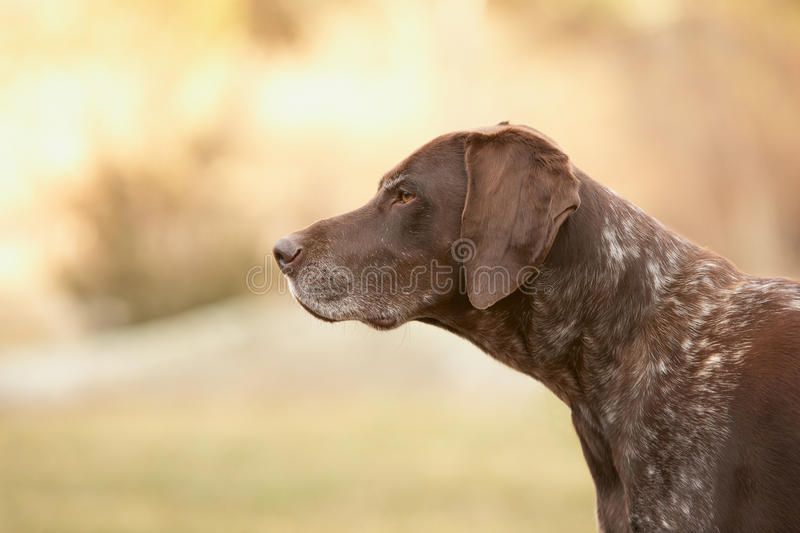 German shorthaired pointer. Dog outside stock photo