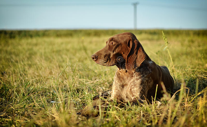 German Shorthaired Pointer. Short haired pointer dog sitting in field royalty free stock photo