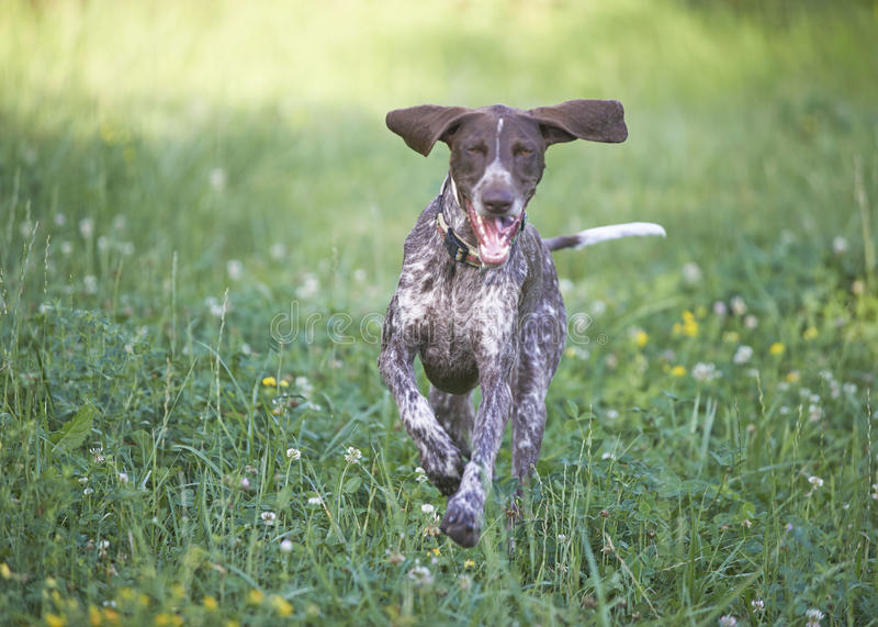 German shorthaired pointer - Hunter dog. Running stock photo