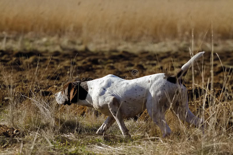 German Shorthaired Pointer hunting. In field royalty free stock photos