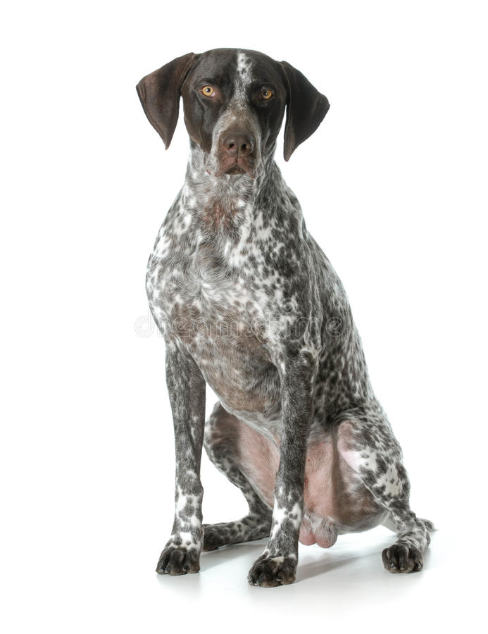 German shorthaired pointer male is stock photography