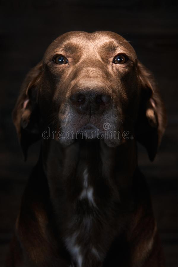 A German Shorthaired Pointer. When not hunting birds, he is the household pet. Dog stock image