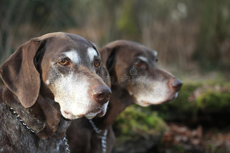 German shorthaired pointer sisters stock photography