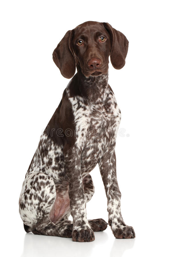 German shorthaired pointer. Sitting against white background stock photography