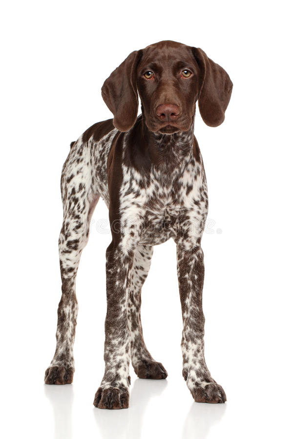 German shorthaired pointer standing. On white background royalty free stock images