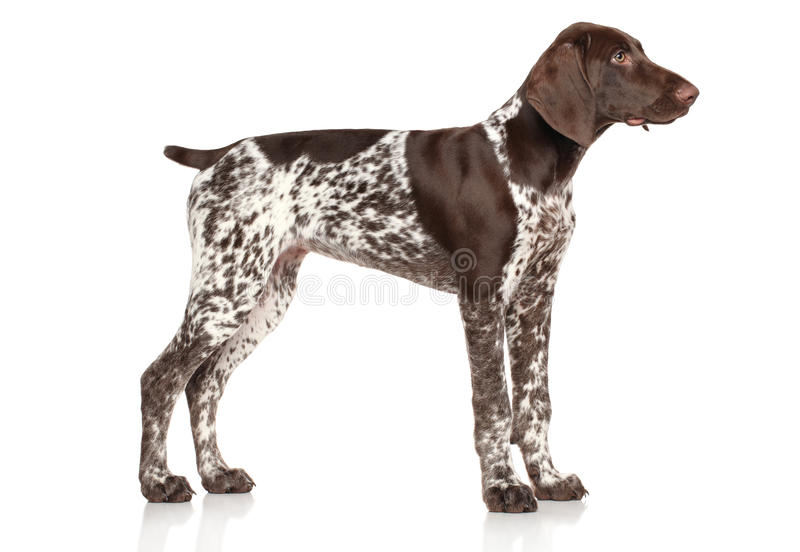 German shorthaired pointer. Standing on white background royalty free stock photo