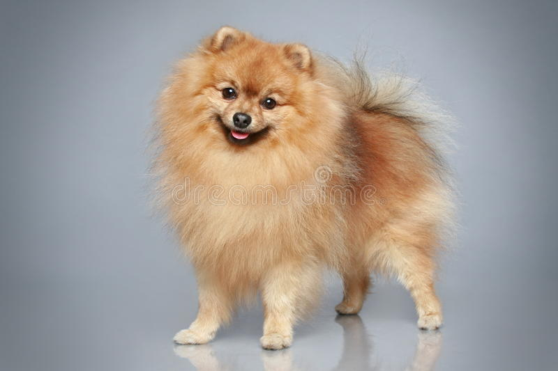 German Spitz dog. On a grey background royalty free stock images