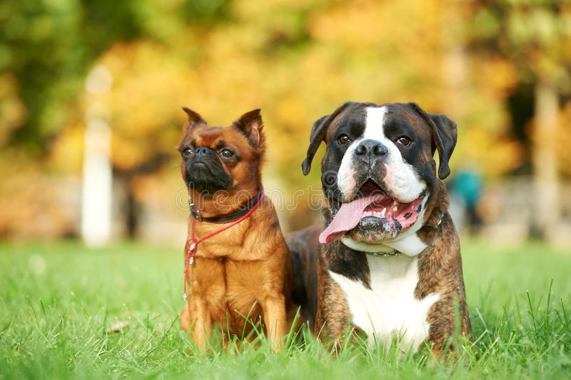 German tiger boxer dog and petit brabancon griffon stock image