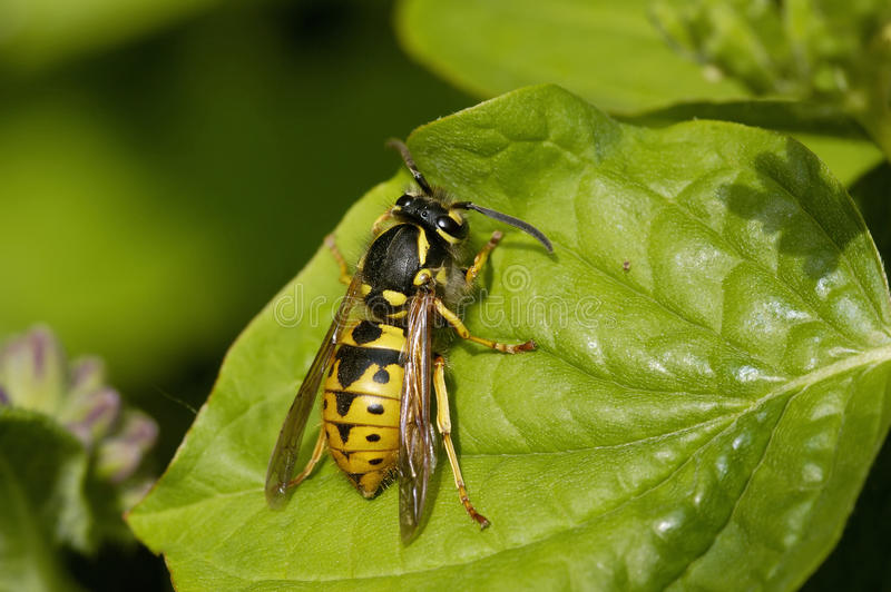 German Wasp - Vespula germanica stock images