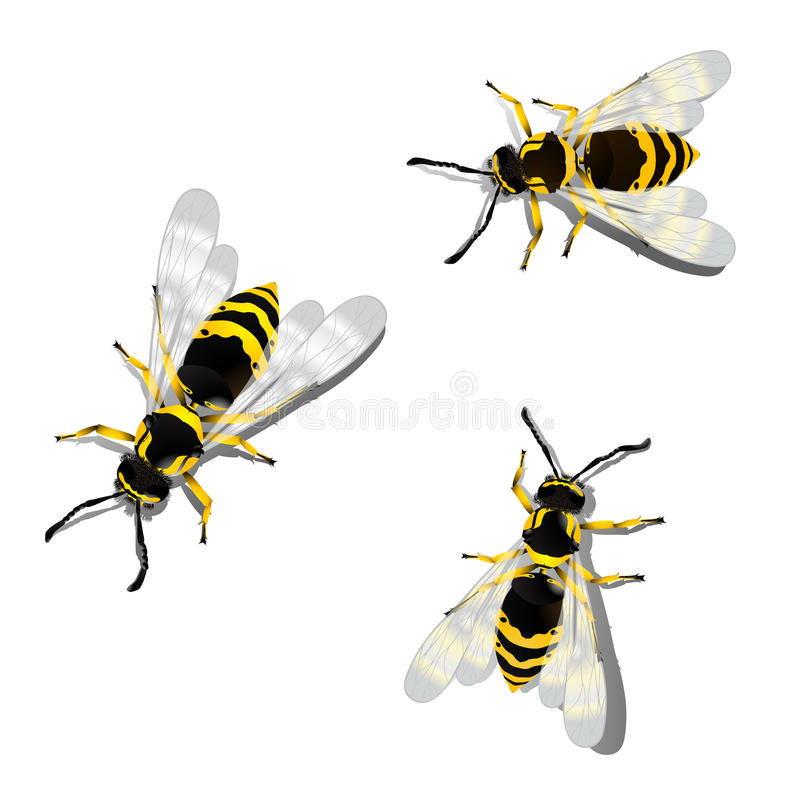 German wasps. Against white background vector illustration