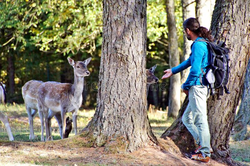 Mature aldult man trying to pet roe deers royalty free stock photo