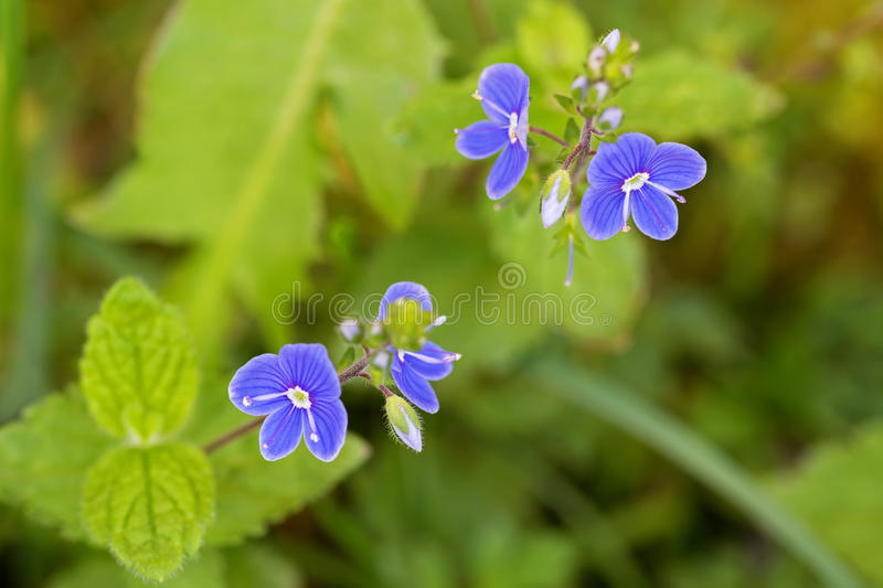 Germander Speedwell flower in blue purple blossoming in the garden in Europe during summer. royalty free stock image