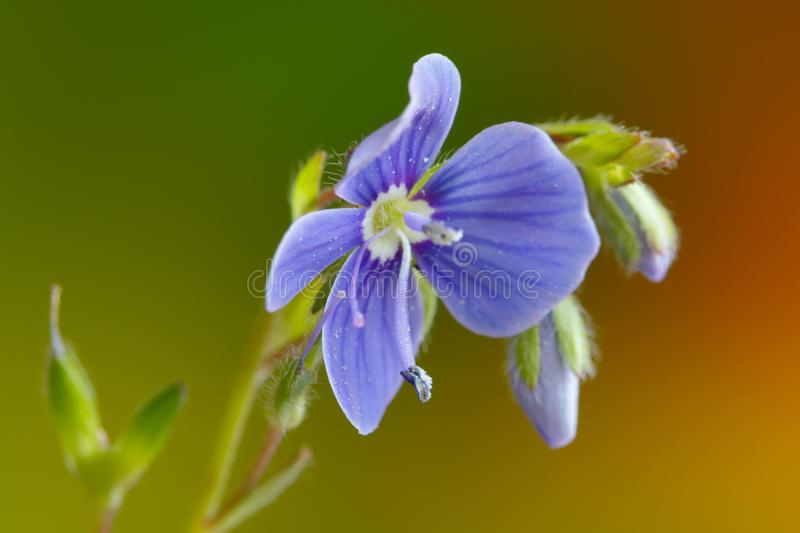 Germander speedwell, or Veronica chamaedrys - herbaceous perennial species of flowering plant.  royalty free stock photos