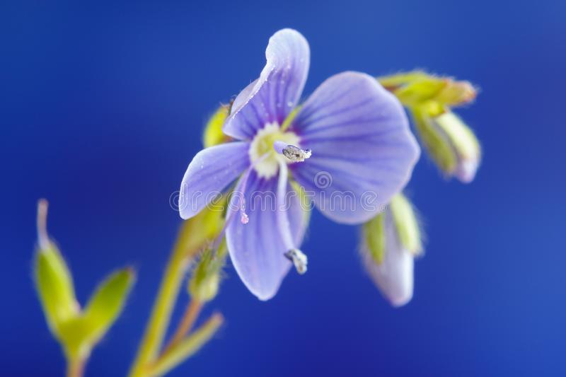 Germander speedwell, or Veronica chamaedrys - herbaceous perennial species of flowering plant.  royalty free stock photo