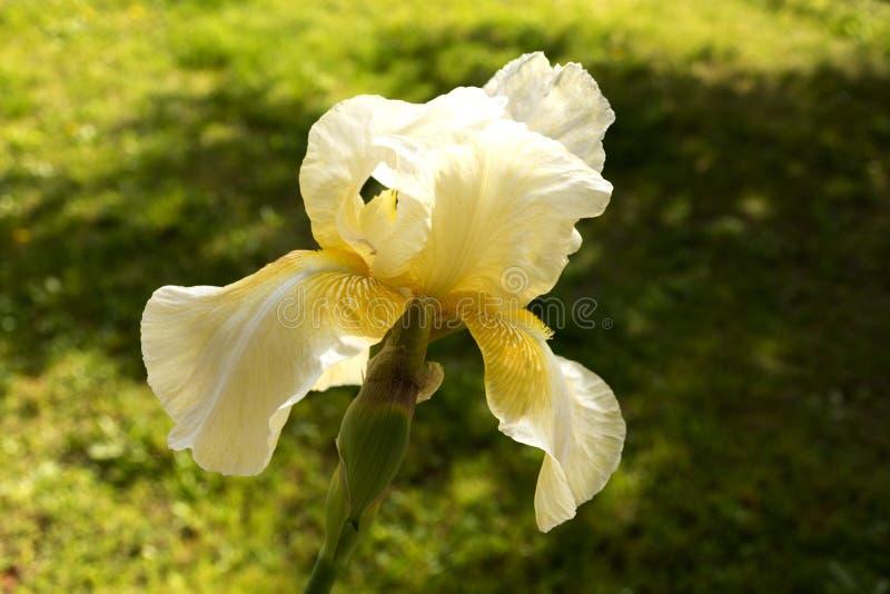 Germanica желтой радужки стоковое изображение rf