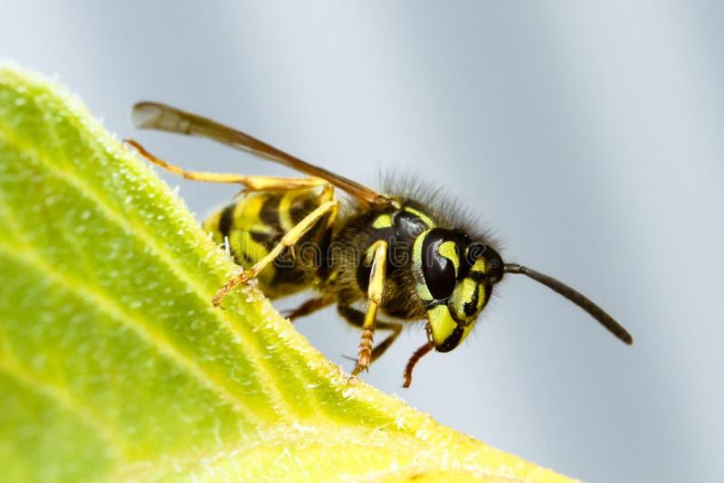Germanica do Vespula da vespa ou vespa europeia que sentam-se em um fim verde da folha acima da foto macro foto de stock royalty free