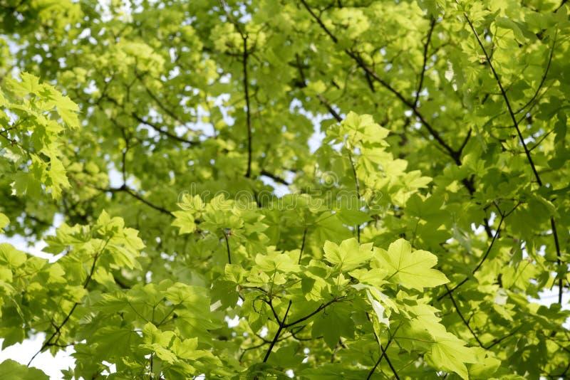 Germany, Bavaria, Ebenhausen, Norway maple (Acer platanoides) leaves, close-up royalty free stock photos