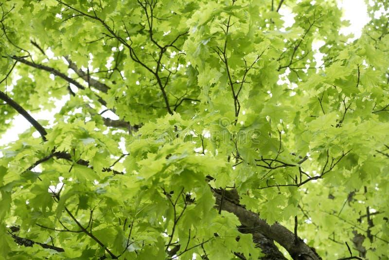 Germany, Bavaria, Ebenhausen, Norway maple (Acer platanoides) leaves, close-up stock photos