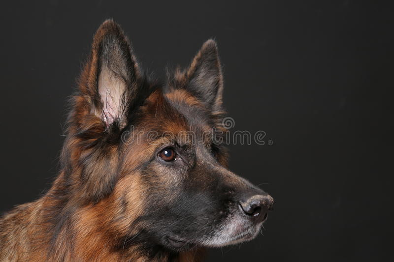 Long Haired German Sheperd Dog Alfie`s Portrait on Black&white Backround. Dog trick videos for all kinds of commercials, movies and series on green backround royalty free stock photos