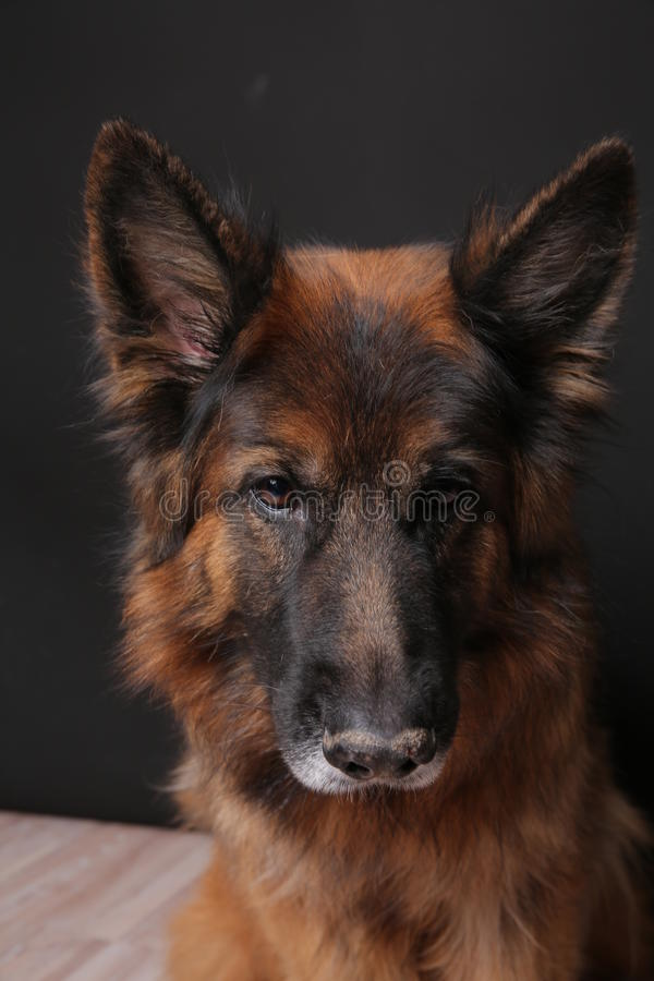 Long Haired German Sheperd Dog Alfie`s Portrait on Black&white Backround. Dog trick videos for all kinds of commercials, movies and series on green backround royalty free stock image