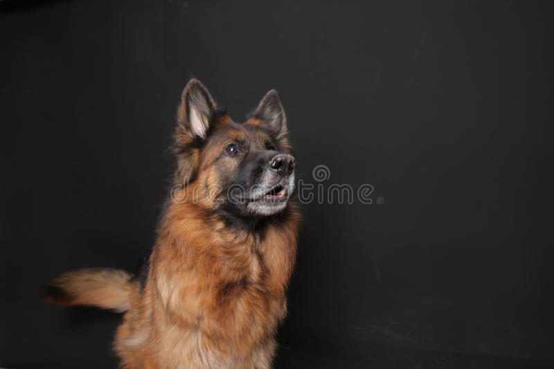 Long Haired German Sheperd Dog Alfie`s Portrait on Black&white Backround. Dog trick videos for all kinds of commercials, movies and series on green backround royalty free stock photography