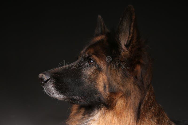 Long Haired German Sheperd Dog Alfie`s Portrait on Black&white Backround stock photos