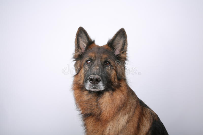 Long Haired German Sheperd Dog Alfie`s Portrait on Black&white Backround royalty free stock image