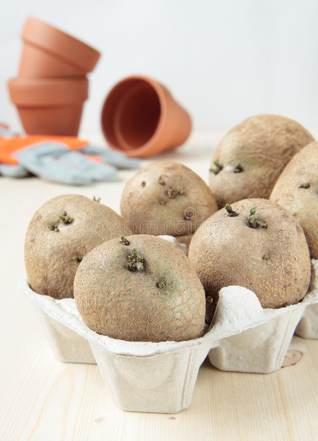 Germez les pommes de terre dans le carton d'oeufs pour planter photographie stock