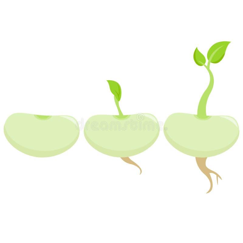 Germi di soia crescenti illustrazione vettoriale