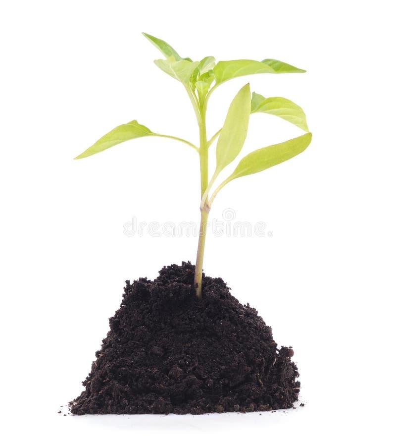 Germinação da pimenta do solo imagem de stock royalty free