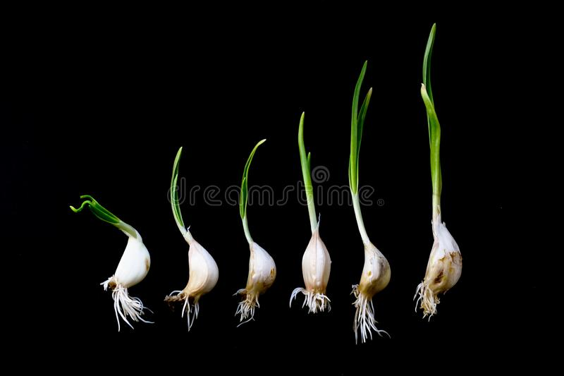 Germinated garlic with green leaves and white roots isolated on black background. Winter garlic sprouted. Fresh seasoning to the royalty free stock image