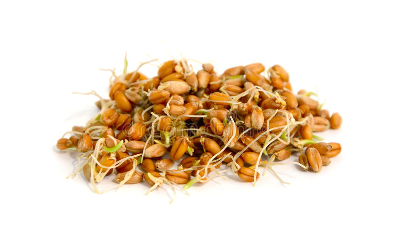 Germinated grains of wheat. royalty free stock image