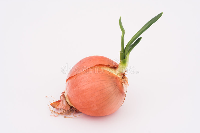 Download Germinated onion stock image. Image of vegetable, nutrition - 501131