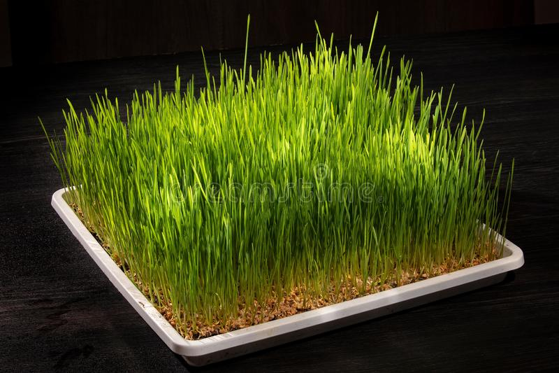 Wheat germinated. Germinated wheat in white tray on black background stock image