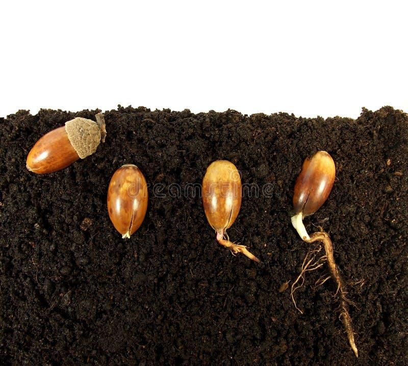 Germinating acorns stock image