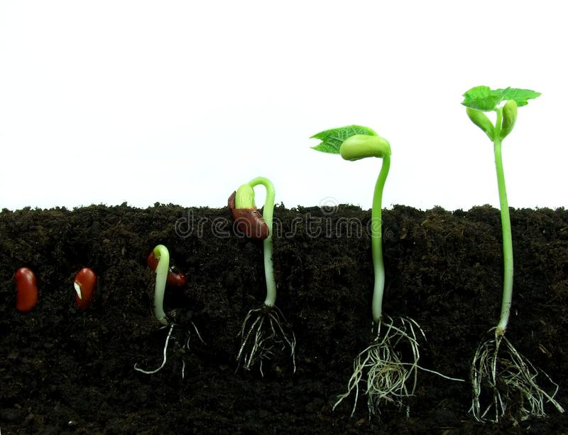 Download Germinating bean seeds stock image. Image of early, macro - 15295409