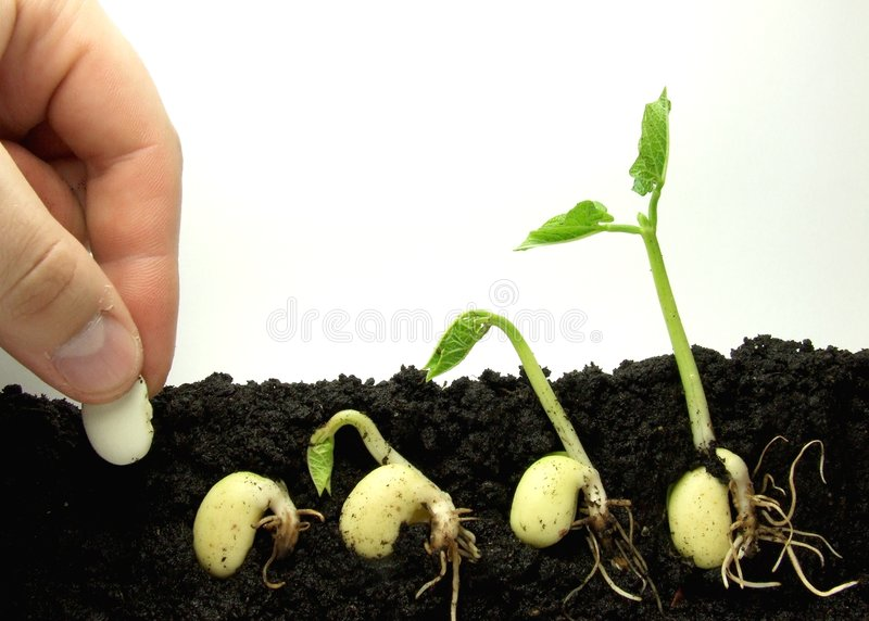 Germinating beans stock image