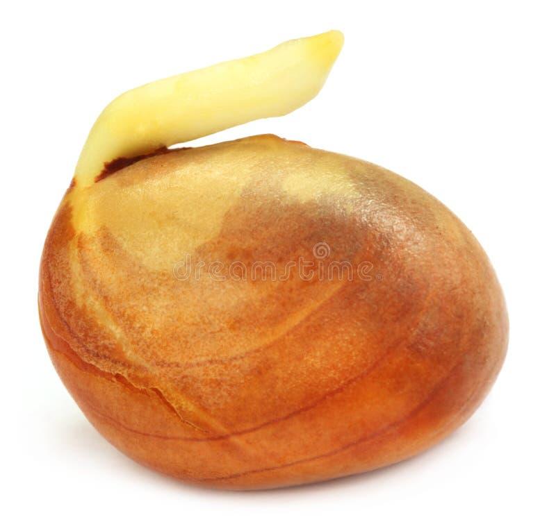 Download Germinating jackfruit seed stock image. Image of background - 25775873