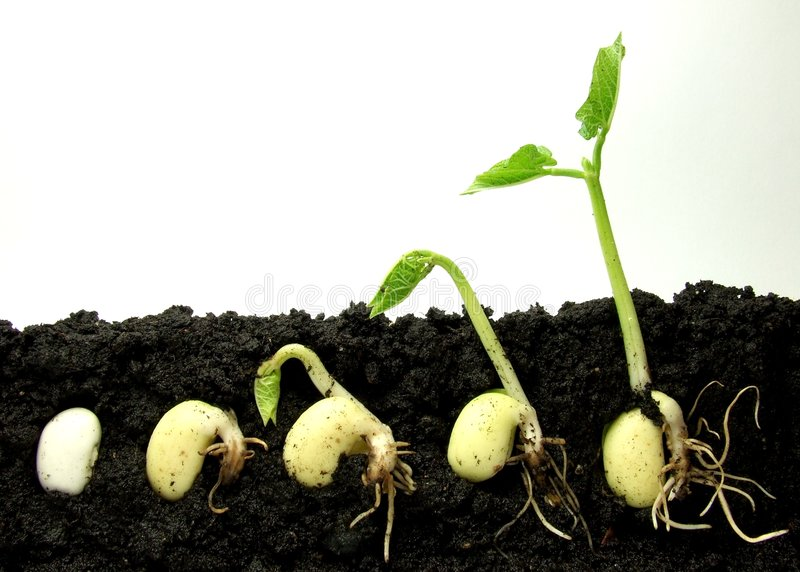 Germinating plant royalty free stock image