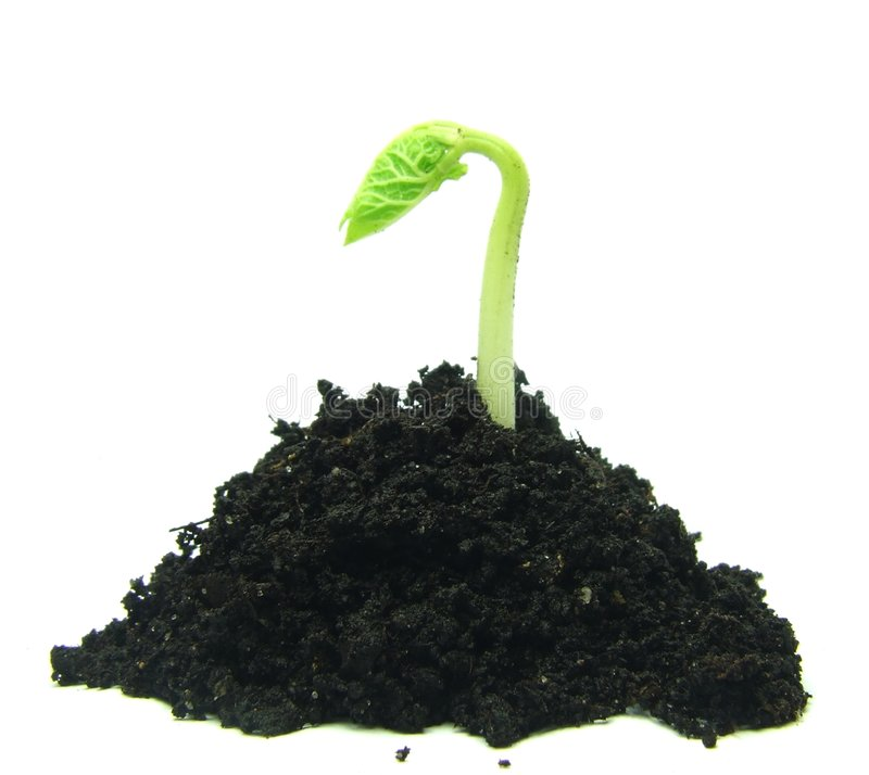 Download Germinating plant in soil stock image. Image of early - 8135521