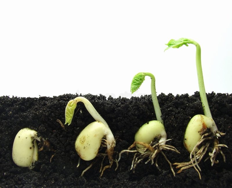 Download Germinating Plants Royalty Free Stock Photography - Image: 8135007