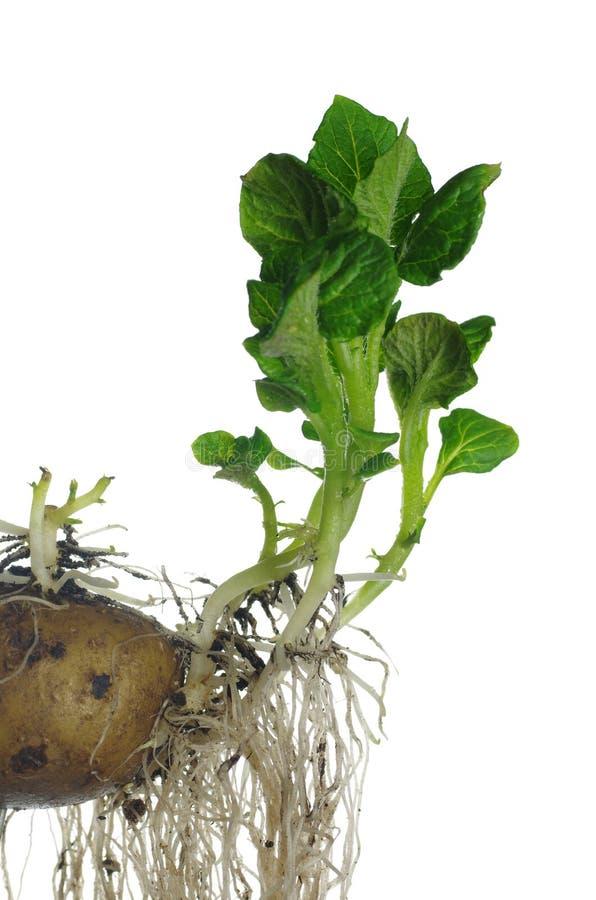 Germinating potato royalty free stock photography
