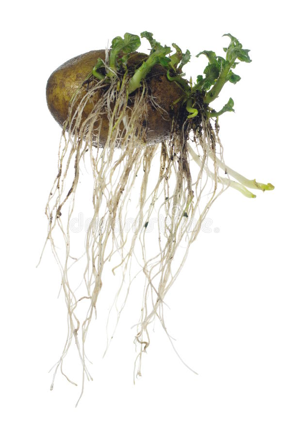 Download Germinating potato stock image. Image of cultivation - 30537635