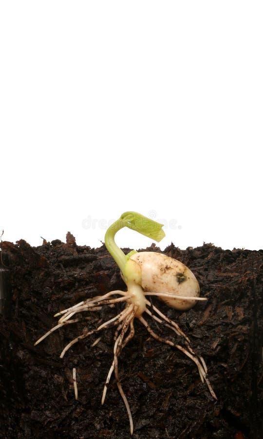 Germinating seed stock photos